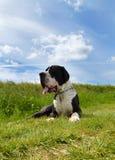 Порода собаки большого датчанина Стоковые Изображения