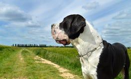 Порода собаки большого датчанина Стоковое Фото