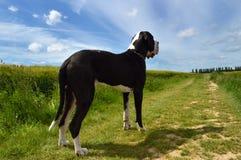 Порода собаки большого датчанина Стоковая Фотография RF