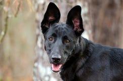 Порода собаки немецкой овчарки Malinois бельгийца смешанная Стоковое Изображение