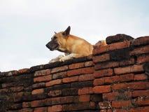 Порода собаки тайского на старой кирпичной стене Стоковые Фотографии RF