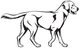 Порода собаки retriever Лабрадора Стоковое фото RF