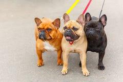 Порода французского бульдога 3 домашних собак Стоковая Фотография RF