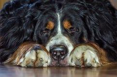 Порода Berner Sennenhund собаки табунить с черными shaggy волосами с белыми пятнами на шеи Стоковые Фото
