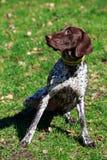 Порода Deutsch Kurzhaar собаки Стоковое фото RF