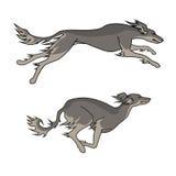 Порода saluki идущих собак, 2 представления Стоковые Фото