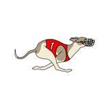 Порода whippet идущей собаки, в платье гонок собаки Стоковая Фотография