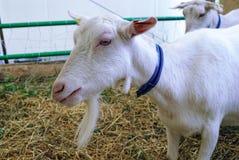 Порода Zaanensky коз Стоковые Фотографии RF