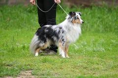 Породы собаки shelties Стоковые Фото