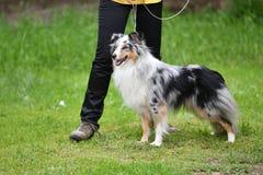 Породы собаки shelties Стоковое фото RF