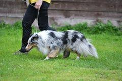 Породы собаки shelties Стоковые Фотографии RF