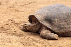Портер nigra Chelonoidis черепахи острова Santa Cruz Стоковое фото RF