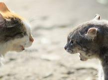 Портреты 2 агрессивных котов смотря на один другого, шипение на eac Стоковая Фотография RF