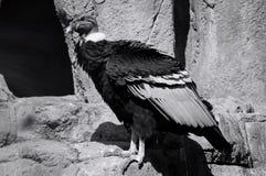 Портреты Андского кондора, gryphus Vultur стоковые изображения rf