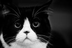 Портреты животных милого кота черно-белые Стоковая Фотография RF
