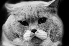 Портреты животных милого кота черно-белые Стоковые Фото