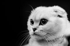 Портреты животных милого шотландского кота черно-белые Стоковые Фотографии RF