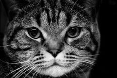 Портреты животных милого шотландского кота черно-белые Стоковые Изображения