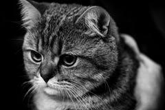 Портреты животных милого шотландского кота черно-белые Стоковые Изображения RF
