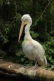 Портреты животных - пеликана сидя на ветви Стоковые Фото