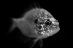 Портреты животных рыб черно-белые Стоковые Изображения RF