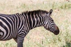 Портреты зебры в национальном парке Tarangire, Танзании Стоковая Фотография RF