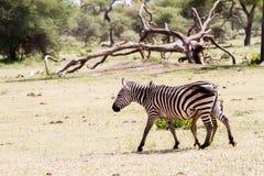 Портреты зебры в национальном парке Tarangire, Танзании Стоковое Изображение RF