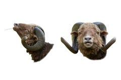 Портреты от передней козы и в профиле Стоковое Изображение RF