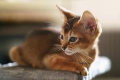 Портрет абиссинского цвета котенка одичалого крытый стоковое изображение