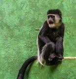 Портрет абиссинского черно-белого colobus, тропический specie крупного плана обезьяны от Африки стоковые фото