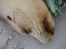 Портрет австралийского морсого льва Стоковая Фотография RF