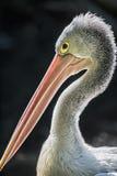 Портрет австралийского пеликана стоковая фотография rf