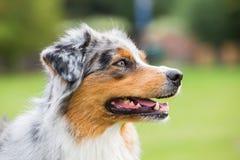 Портрет австралийской собаки чабана стоковая фотография rf
