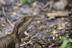 Портрет австралийской ящерицы на подземельях Jenolan Стоковые Изображения