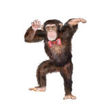 Портрет акварели обезьяны с кроной Стоковое Фото