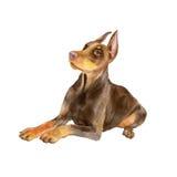 Портрет акварели черной собаки породы Pinscher Dobermann немца на белой предпосылке Любимчик нарисованный рукой сладостный Стоковая Фотография RF