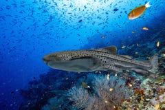 Портрет акулы зебры на темносинем океане кораллового рифа Стоковое Изображение RF