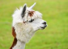 Портрет альпаки Стоковые Фото