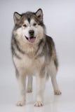 портрет аляскского malamute Стоковые Изображения