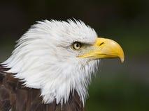 Портрет американского облыселого орла Стоковые Изображения