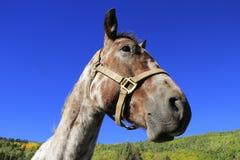 Портрет американской квартальной лошади, утесистых гор, Колорадо Стоковое фото RF