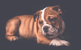 Портрет английского щенка бульдога Стоковое Фото