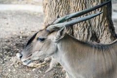 Портрет антилопы Eland Стоковые Изображения RF