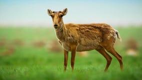 Портрет антилопы saiga стоковые фото