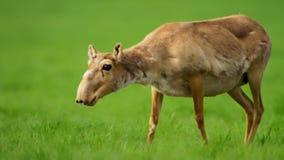 Портрет антилопы saiga стоковое фото rf