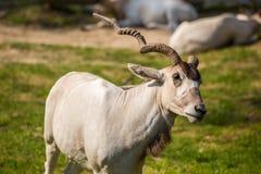 Портрет антилопы аддакса Стоковое Фото