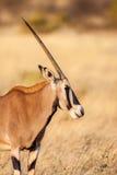 Портрет антилопы сернобыка (gazella сернобыка) в пустыне, Африке Стоковое Изображение RF