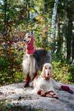 Портрет 2 афганских борзых, красивый, возникновение выставки собак Стоковое Изображение RF