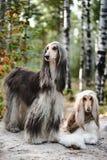Портрет 2 афганских борзых, красивый, возникновение выставки собак Стоковая Фотография RF