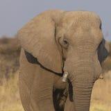портрет африканского слона Стоковая Фотография